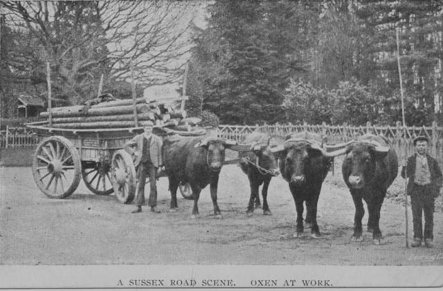 Oxen_at_work_Sussex