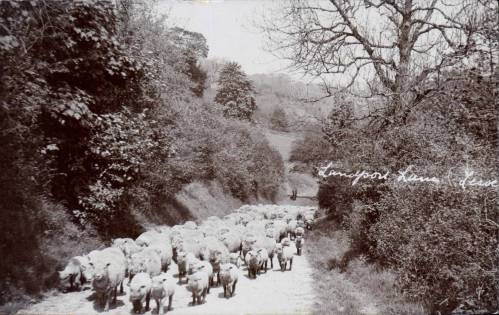 southdown-sheep-on-landport-lane-cheetham-postcard