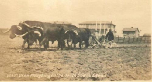 Oxen ploughing by Lewes Racecourse postcard