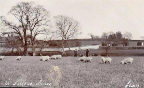James Cheetham postcard of sheep, Hamsey church, and Hamsey Place Farm
