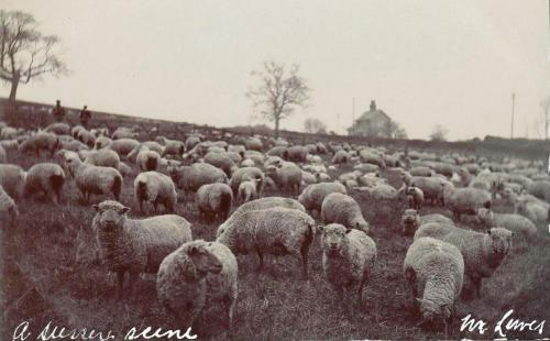 James Cheetham postcard, sheep in Sussex